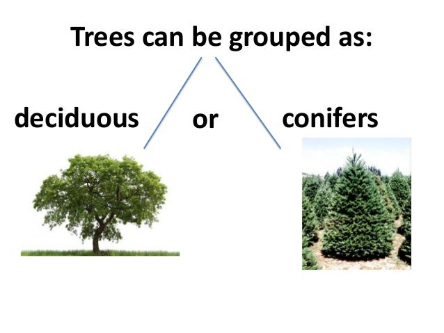 what are examples of coniferous trees