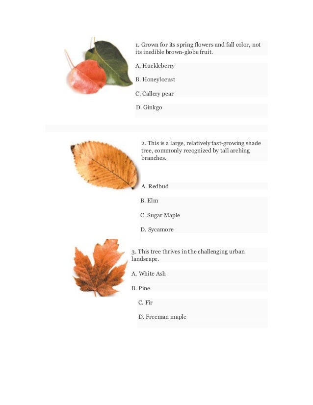 1. Grown for its spring flowers and fall color, not its inedible brown-globe fruit. A. Huckleberry B. Honeylocust C. Calle...