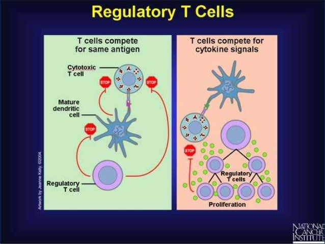 regulatory t cells and gvhd