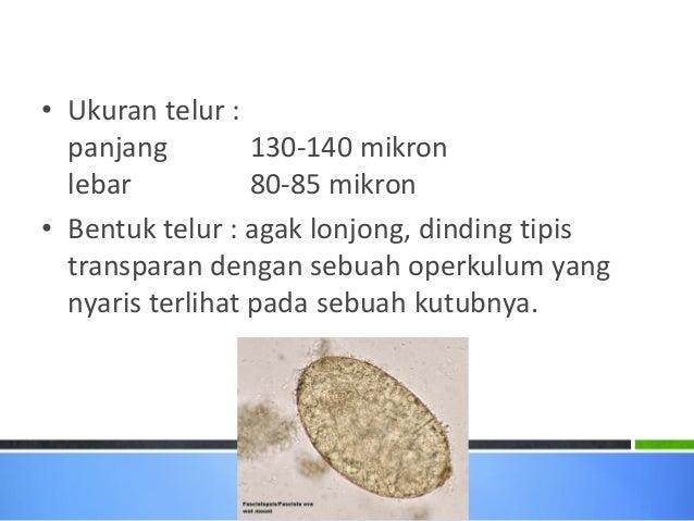 80 Gambar Telur Cacing Fasciolopsis Buski Paling Bagus
