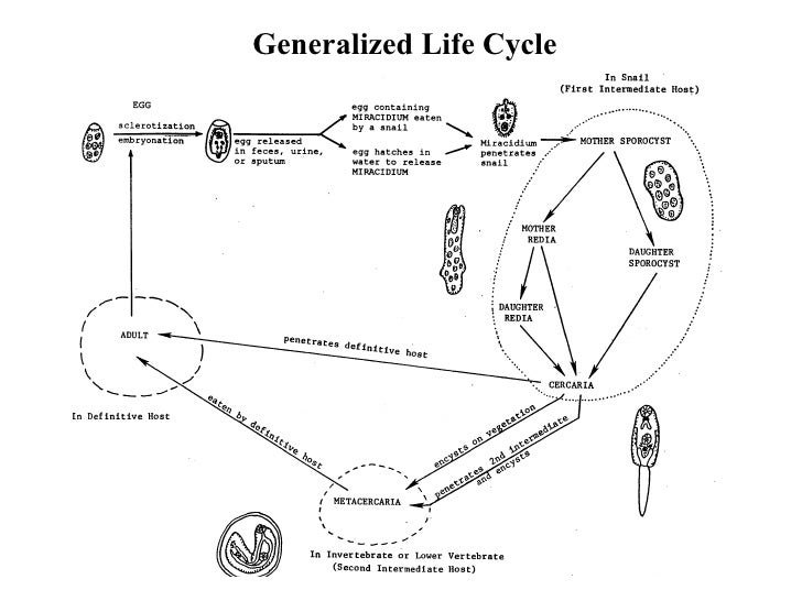 Trematode Life Cycles