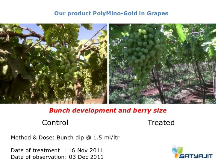 Our product PolyMino-Gold in Grapes             Bunch development and berry size          Control                         ...
