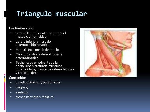 Triangulo del cuello for Esternohioideo y esternotiroideo