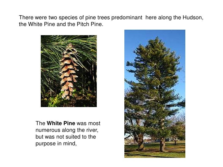 There were two species of pine trees predominant here along the Hudson, the White Pine and the Pitch Pine.           The W...