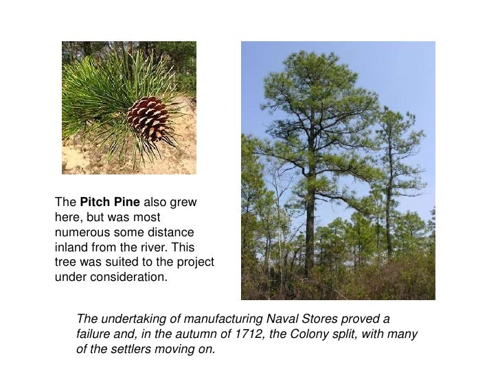 The Pitch Pine also grew here, but was most numerous some distance inland from the river. This tree was suited to the proj...