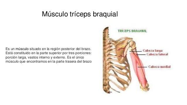 Músculo tríceps braquial Es un músculo situado en la región posterior del brazo. Está constituido en la parte superior por...