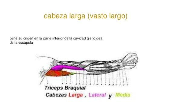 cabeza larga (vasto largo) tiene su origen en la parte inferior de la cavidad glenoidea de la escápula