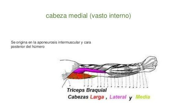 cabeza medial (vasto interno) Se origina en la aponeurosis intermuscular y cara posterior del húmero