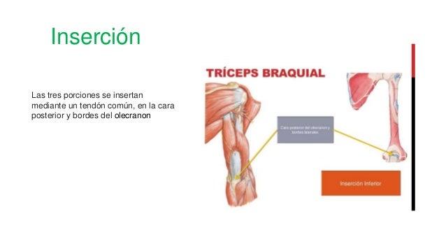 Inserción Las tres porciones se insertan mediante un tendón común, en la cara posterior y bordes del olecranon