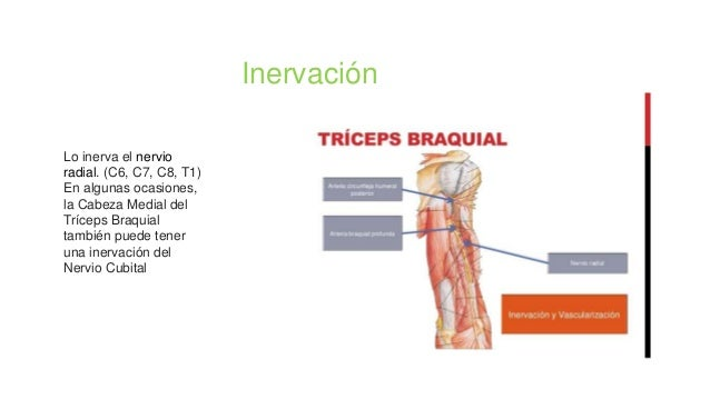 Lo inerva el nervio radial. (C6, C7, C8, T1) En algunas ocasiones, la Cabeza Medial del Tríceps Braquial también puede ten...