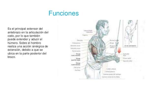 Funciones Es el principal extensor del antebrazo en la articulación del codo, por lo que también puede extender y aducir e...