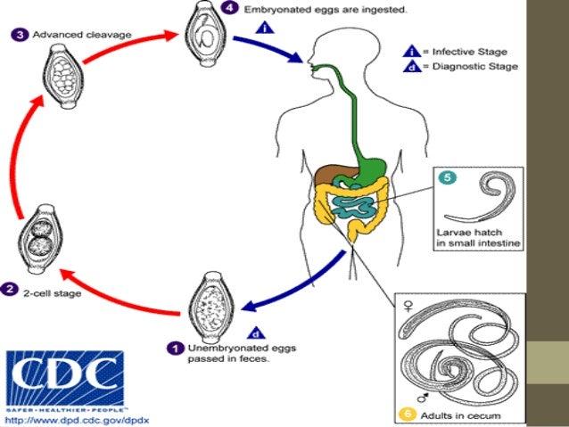 Modo de transmisión •La vía de contagio es la oral; •A través de la ingestión de agua o alimentos contaminados con tierra.