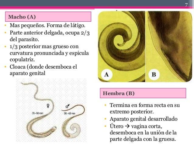 Macho (A) Hembra (B) • Mas pequeños. Forma de látigo. • Parte anterior delgada, ocupa 2/3 del parasito. • 1/3 posterior ma...