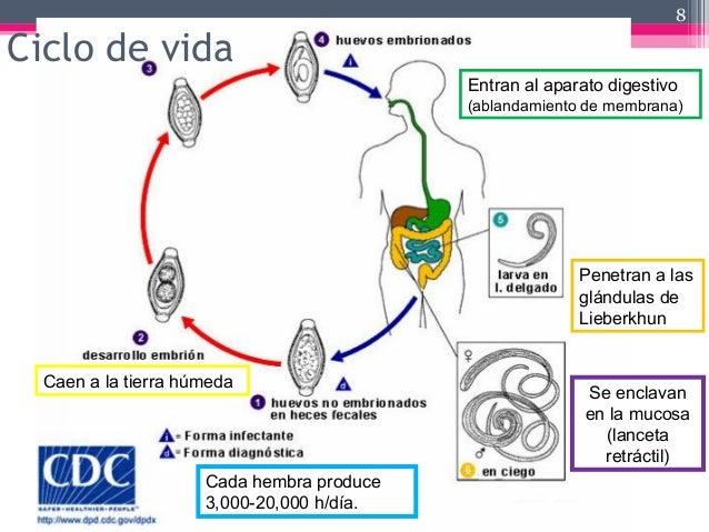 Ciclo de vida 8 Caen a la tierra húmeda Entran al aparato digestivo (ablandamiento de membrana) Penetran a las glándulas d...