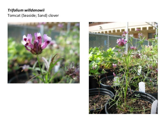 Trifolium willdenowii Tomcat (Seaside; Sand) clover