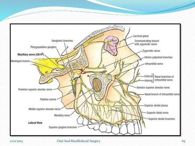 Jaw Nerve Anatomy Diagram - Trusted Wiring Diagram •