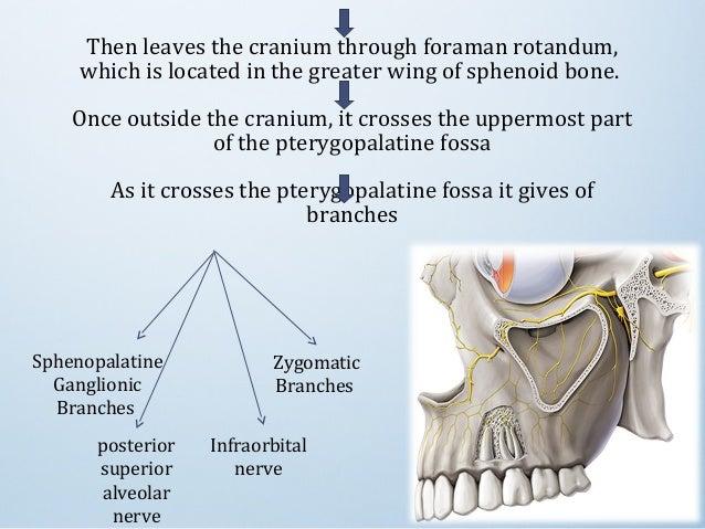 trigeminal nerve, Human Body