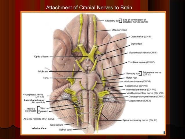 Trigeminal Nerve Dr Gosai