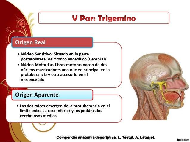 Origen del nervio trigemino pdf