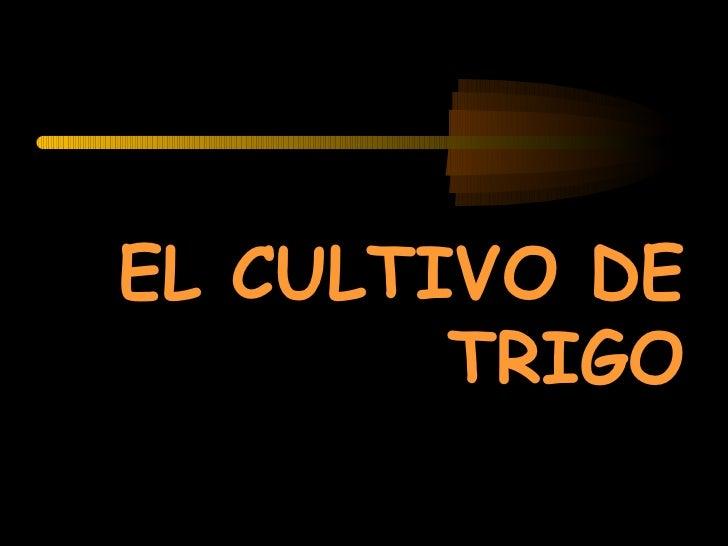 EL CULTIVO DE        TRIGO