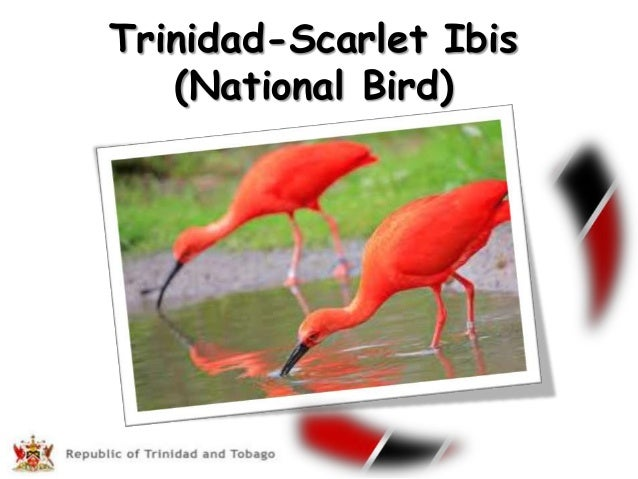scarlet ibis brothes pride Explore kachina shaw's board oooo, shiny on pinterest | see more ideas about rings, gemstones and jewelry rings.