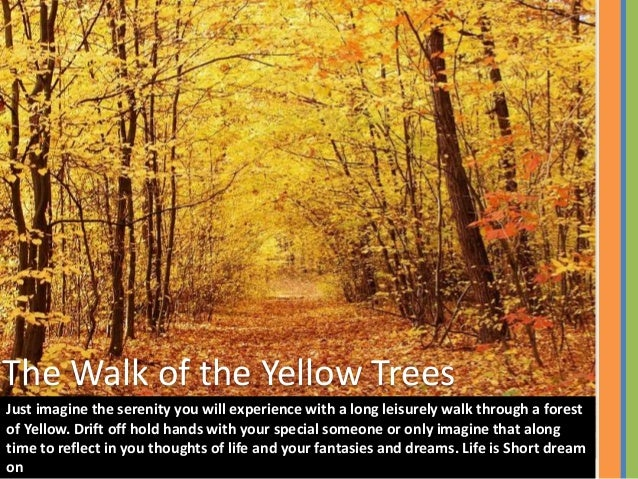 The Walk of the Yellow Trees Just imagine the serenity you will experience with a long leisurely walk through a forest of ...