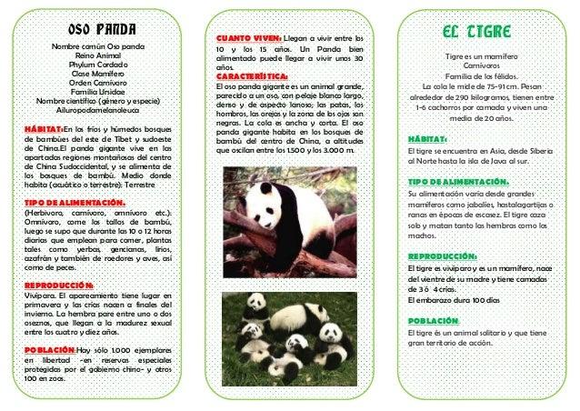 OSO PANDA Nombre común Oso panda Reino Animal Phylum Cordado Clase Mamífero Orden Carnívoro Familia Ursidae Nombre científ...
