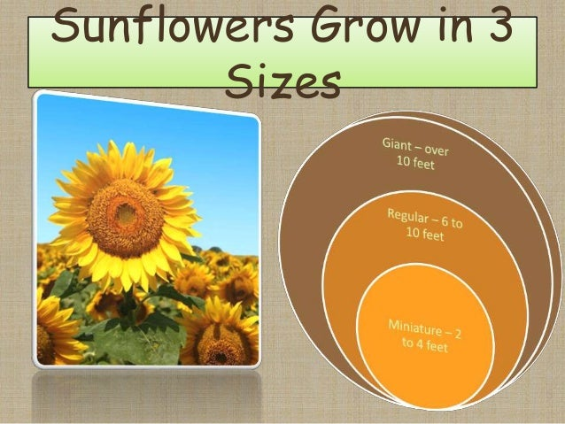 Sunflowers Grow in 3 Sizes