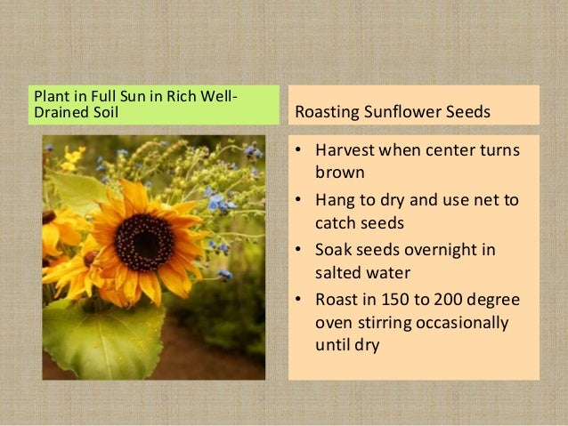 Plant in Full Sun in Rich Well- Drained Soil Roasting Sunflower Seeds • Harvest when center turns brown • Hang to dry and ...