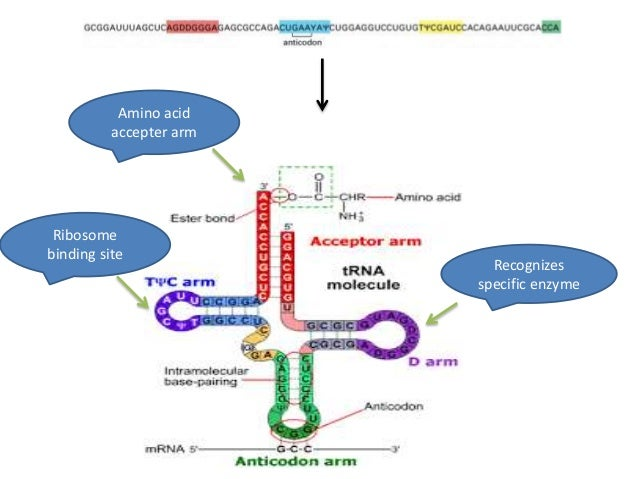 tRNA structure and function