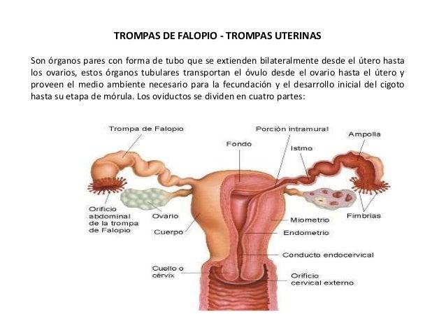 Las trompas uterinas