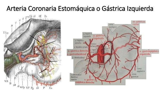 Anatomía - Tronco celíaco (Triangulos, Colaterales y Terminales)