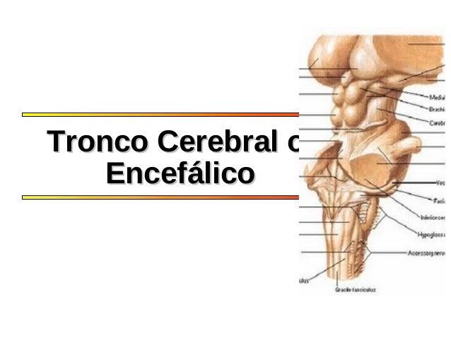 Tronco Cerebral oTronco Cerebral o EncefálicoEncefálico