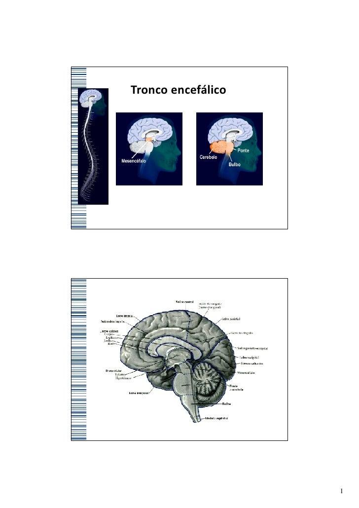 Tronco encefálico                    1