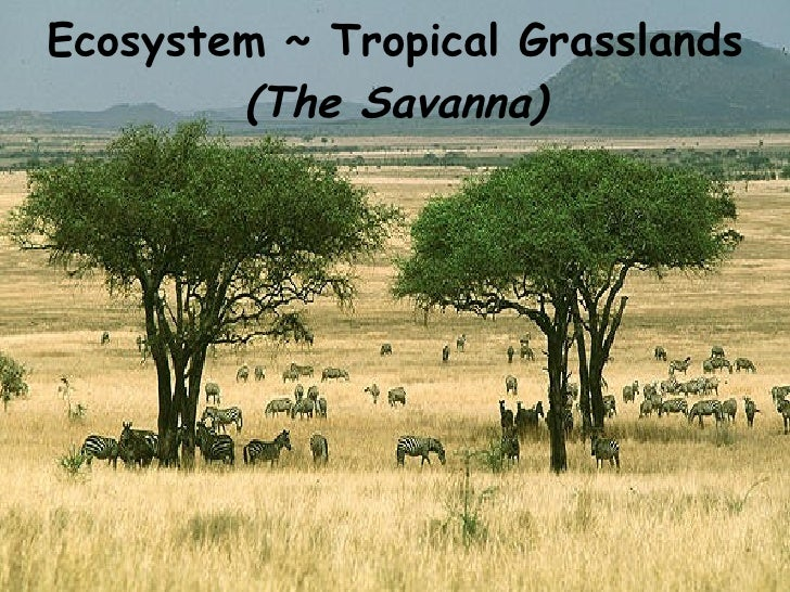 savanna grassland features Tropical grasslands are dominated tropical grassland giraffes, elephants and warthogs are among other herbivores of the african savanna carnivores.