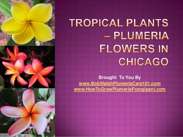 Brought To You By www.BobWalshPlumeriaCare101.comwww.HowToGrowPlumeriaFrangipani.com