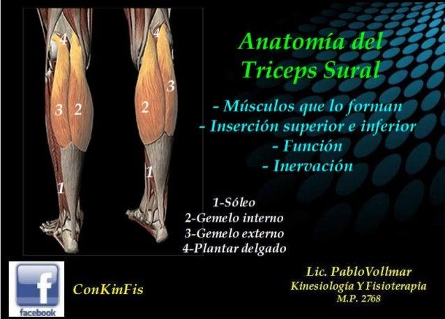 Anatomia del Triceps Sural