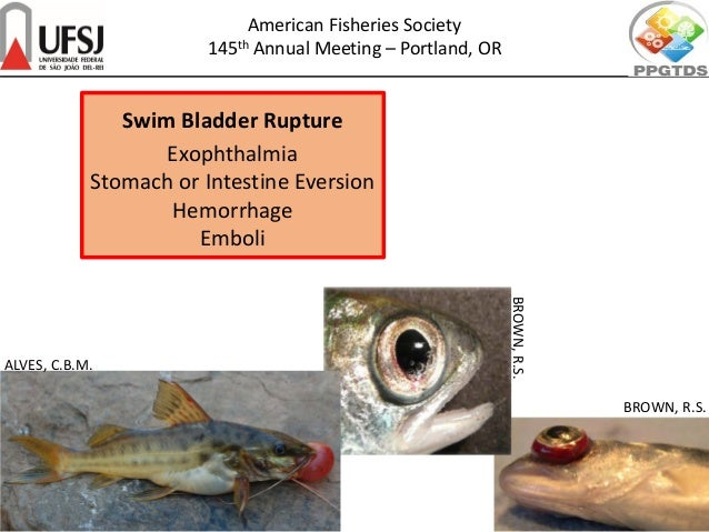 Swim Bladder Rupture Exophthalmia Stomach or Intestine Eversion Hemorrhage Emboli BROWN, R.S. BROWN,R.S. ALVES, C.B.M. Ame...