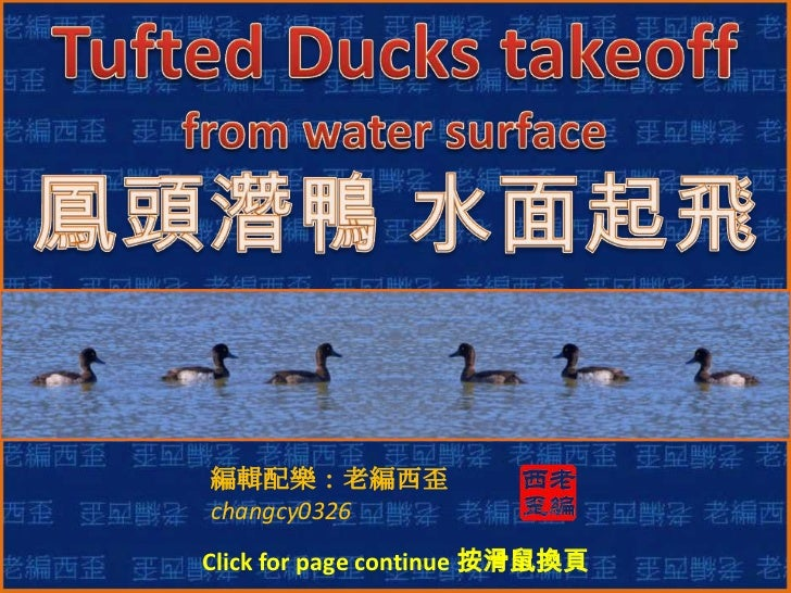 Tufted Ducks takeoff from water surface<br />鳳頭潛鴨 水面起飛<br />編輯配樂:老編西歪<br />changcy0326<br />Click for page continue 按滑鼠換頁 ...