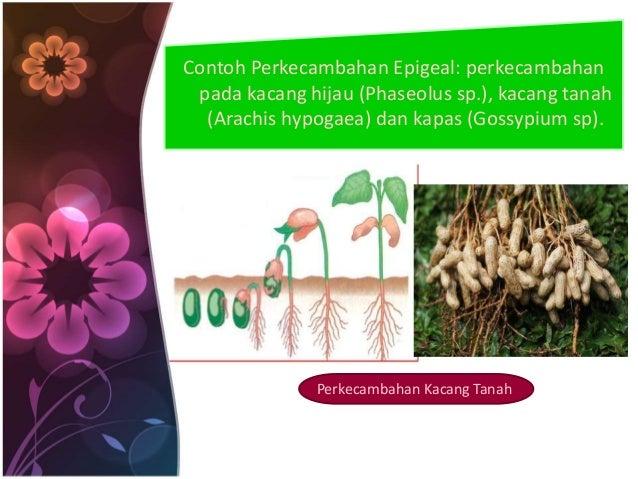 Contoh Perkecambahan Epigeal: perkecambahan  pada kacang hijau (Phaseolus sp.), kacang tanah  (Arachis hypogaea) dan kapas...