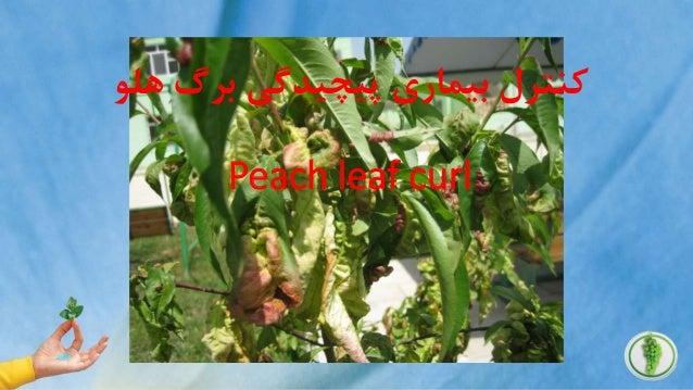 هلو برگ پیچیدگی بیماری کنترل Peach leaf curl