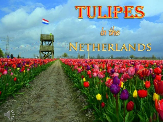 Tulipes in the netherlands (v.m.)