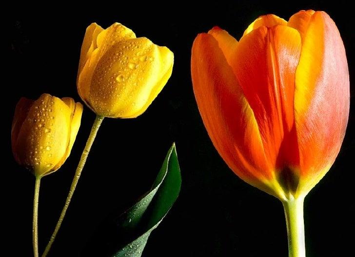 Tulips Slide 1