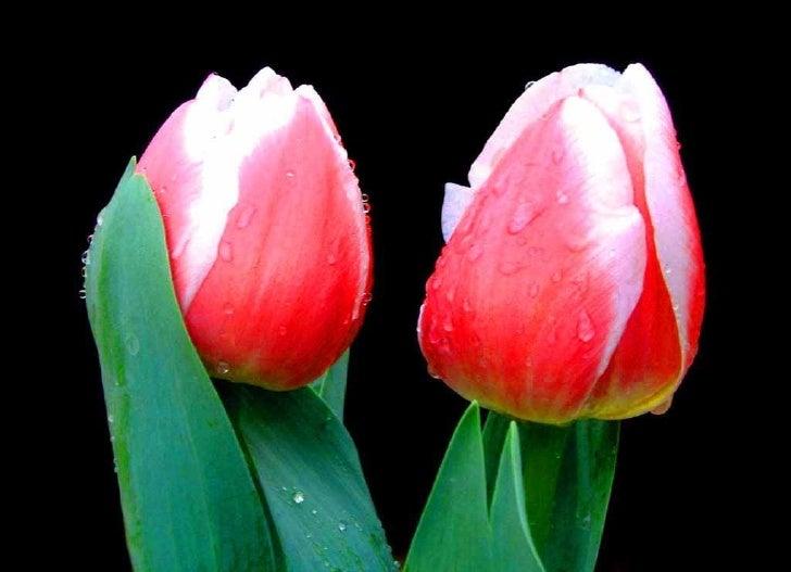 Tulips Slide 2