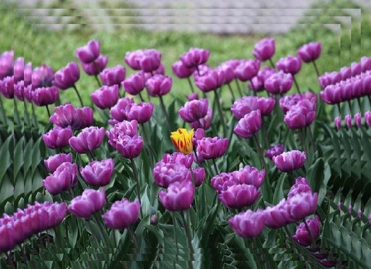 Tulips Slide 3