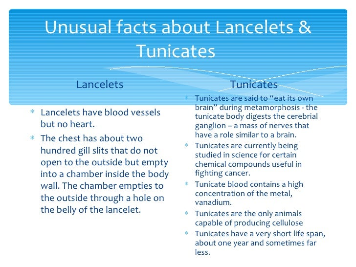 Tuncates Or Sea Squirts And Lancelets