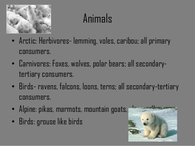 arctic wolf and caribou relationship