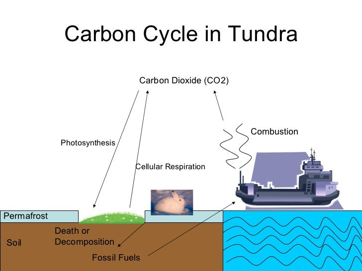 Photosynthesis diagram of the tundra search for wiring diagrams tundra rh slideshare net photosynthesis and respiration diagram cellular respiration diagram ccuart Image collections