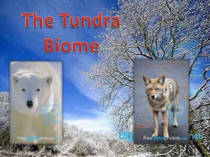 In the Tundra theweather is normallyextremely cold. Thewinter temperaturesNormally averagebetween -20 to -30degrees C. In ...