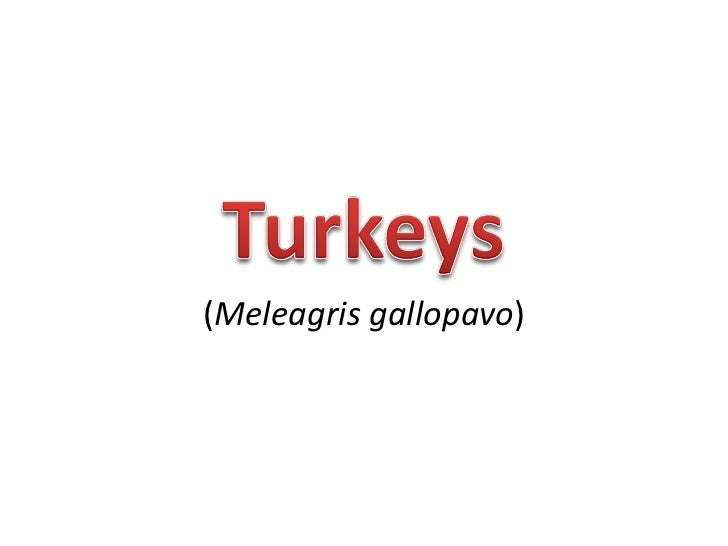 ( Meleagris gallopavo )